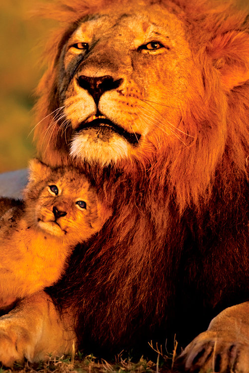 Póster Animales - Lion And Cub